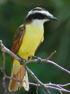 Grande Kiskadi / Great kiskadee | by jvverde