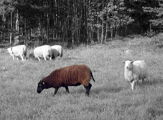 The Black Sheep | by Steffe