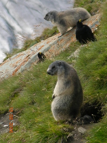Marmots (and Alpine Choughs)