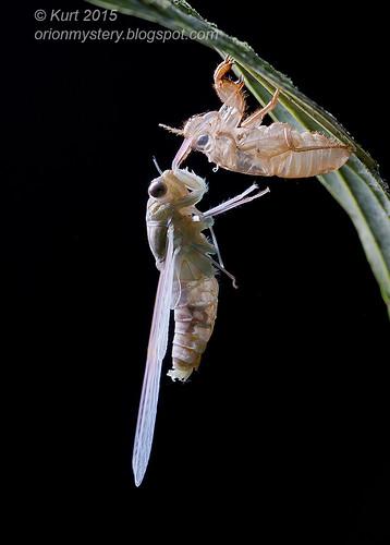 Cicada_MG_1400 copy | by Kurt (OrionHerpAdventure.com)