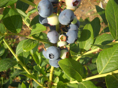 LArge Blueberry and Green nice fruits a Jun 5, 2015 | by toutberryfarms