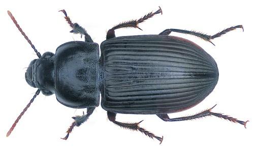 Anisodactylus (Pseudanisodactylus) signatus (Panzer, 1796) | by urjsa