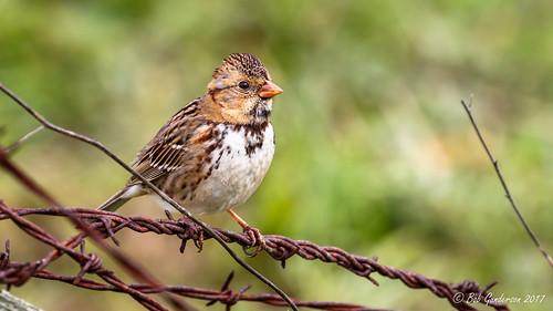 birds california harrisssparrow lasgallinas marincounty northbay northerncalifornia sparrows zonotrichiaquerula