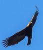 Golden Eagle by Wes Aslin