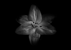 Backyard Flowers In Black And White 28