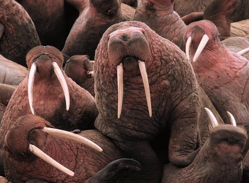 Walrus   by USFWS Headquarters