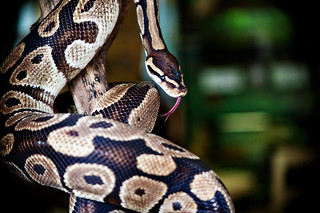 Ball Python | by Leslie Science & Nature Center