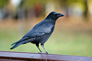 Crow | by Valters Krontals