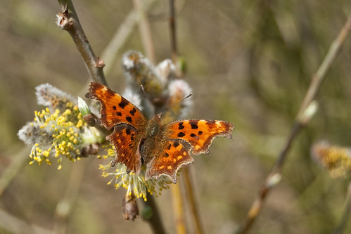 Comma butterfly | by shieladixon