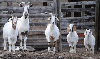 happy goat family   by bagsgroove