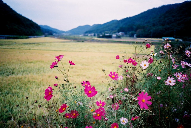 Cosmos and rice harvest in Japan