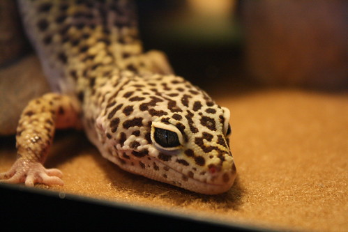 Al the Leopard Gecko | by simply.jessi