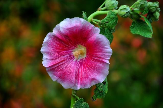 Autumn colours, Alcea, Rose trémière, Hollyhocks