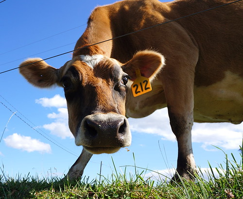 eye animals landscape cow nc farm country pasture farmanimals cowhead