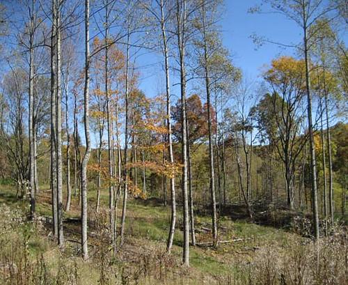 Poplar stand five months after harvest completion (October 2009).