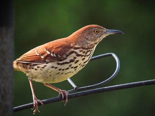© brownthrasher toxostomarufum backyardbirds feederbirds garyburke 14xtc olympuse620 zuiko50200mmf28swd feederbirdsofnorthcarolina