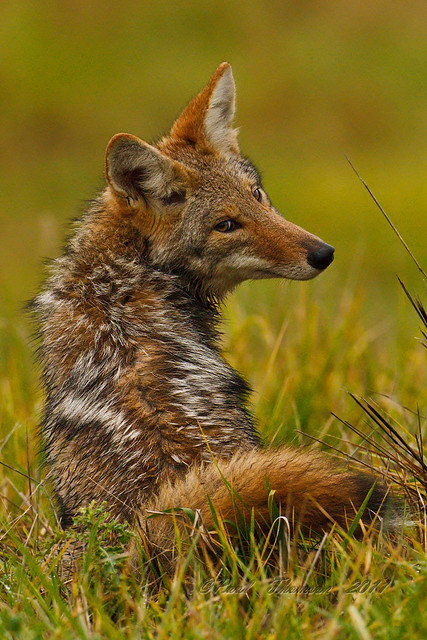 Pouting Coyote