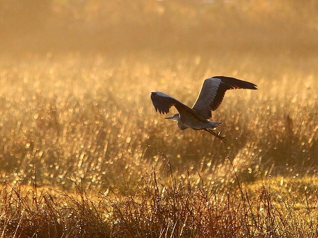 Grey Heron in morning light