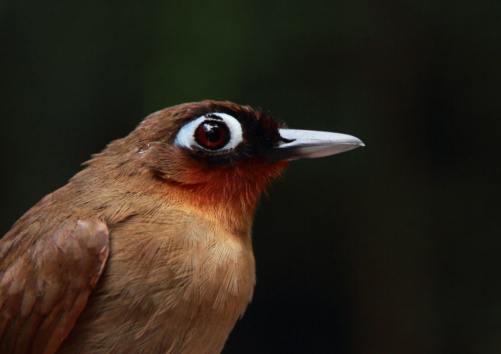 Rufous-throated Antbird - Gymnopithys rufigula