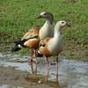Pato Carretero [Orinoco Goose] (Neochen jubata) (♂ y ♀) by barloventomagico