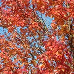 Vibrant red and orange leaves