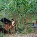 Orang Rimba bermukin diantara akasia milik perusahaan forestri terbesar di Jambi. Foto Heriyadi Asyari.Dok KKI Warsi