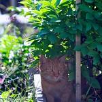 今日の猫1#シャイ