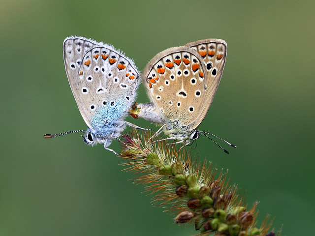 Common Blue(Polyommatus icarus)
