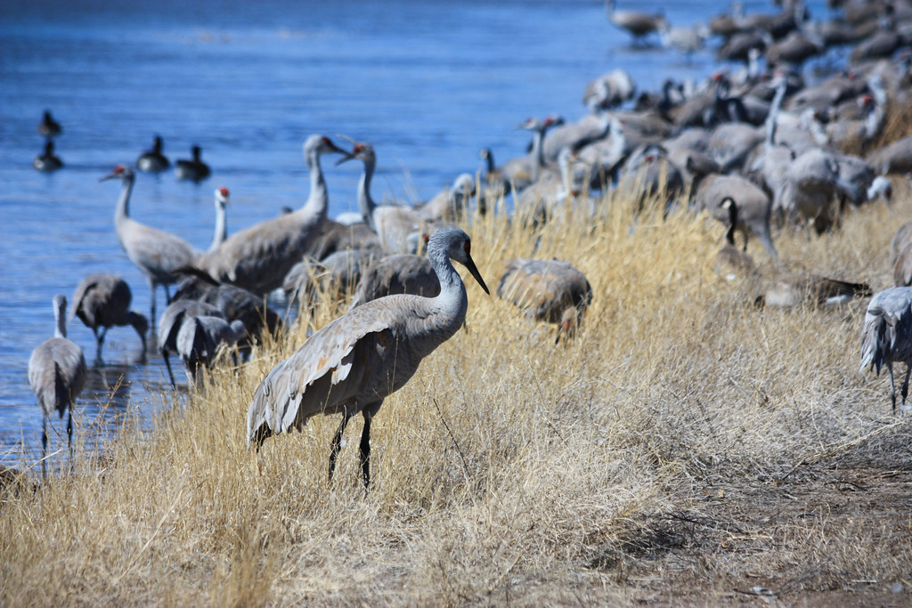 Image result for sandhill crane, arizona""