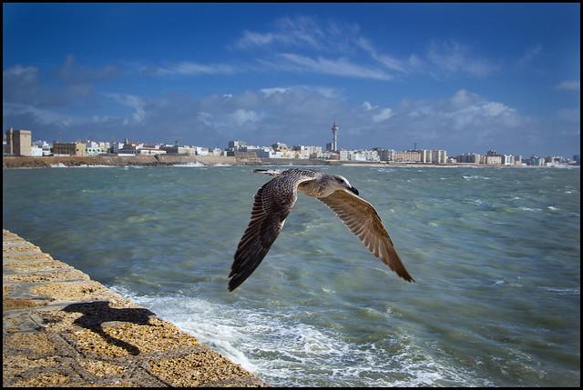Gaviota da Bahía de Cádiz