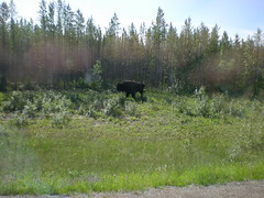 20110703 0301 Buffalo on the road to Fort providence, Yellowknife 2011