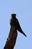Falco ardosiaceus - Grey Kestrel by mgrimm82