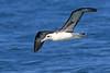 Laysan Albatross, San Diego pelagic, California by Terathopius