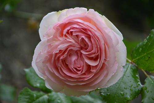 rosier 'Pierre de Ronsard' 32819341746_4d8fdc8c0f