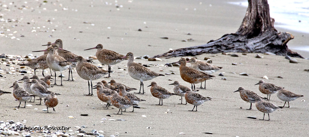 Bar-tailed Godwits and Red knots together