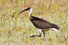 Straw-necked Ibis by SillyOldBugger (in and out of internet range)