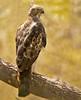 Changeable Hawk-eagle by munzir_khan