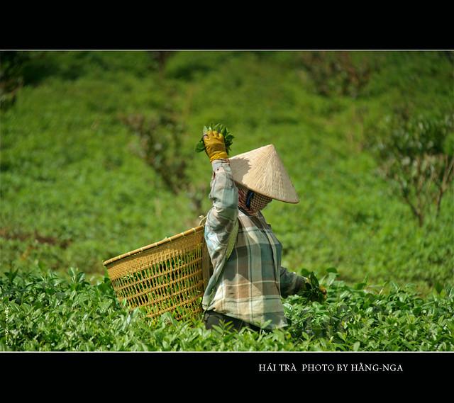 Pick tea leaves
