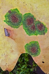 Tar Spot of Maple on Bigleaf Maple in Olympic National Park