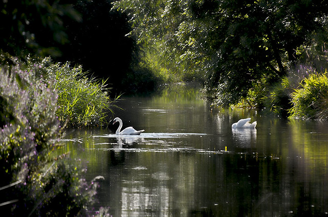 Two swans on the canal.