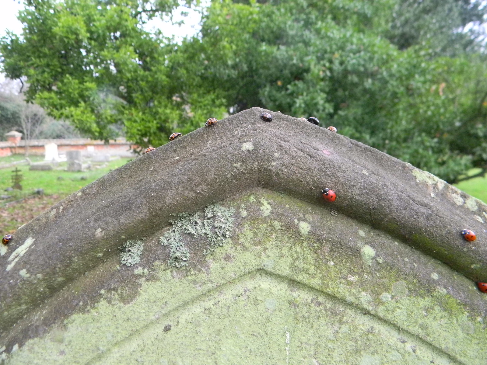 Sermon on the mount... ....re-enacted by ladybirds. A curious sight. Many of the gravestones in Lawford churchyard had congregations of ladybirds at the top. And not just one species, red ones, black ones, brown ones.... Manningtree Circular