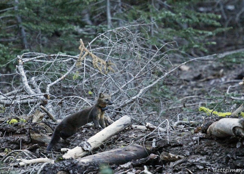 American marten (Martes americana), adult male with radio collar, Lassen National Forest, Northern CA (2)