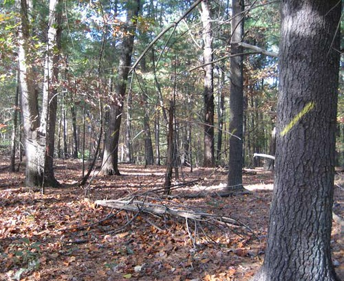 Timber marked to cut prior to the harvest.