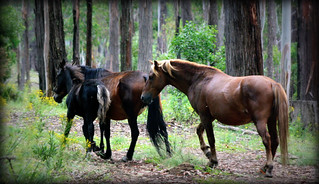Tumbarumba Brumby group | by robynmacrae