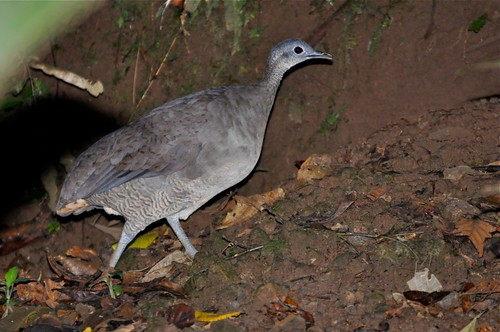 Great Tinamou | by Lev Frid
