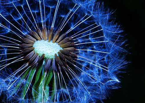flowers color beautiful garden amazing colorful dandelion seeds lovely nikond90 nikonafnikkor50mmf18d raychristy