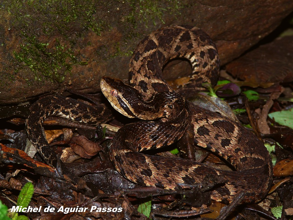 B. jararacussu - Serra do Mar - Núcleo Caraguatatuba. - SP. 03/11/2011