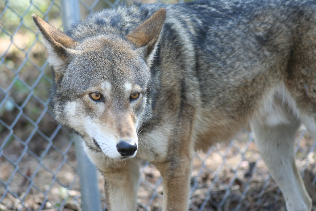 Captive male red wolf at Sandy Ridge | Photo Credit: R  Nord
