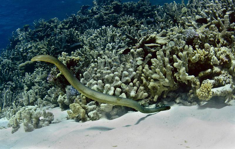 Ashmore reef sea snakes