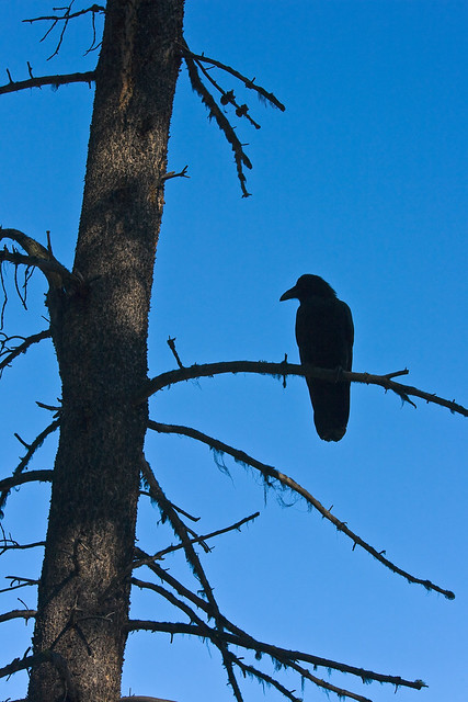 Common Raven in Jasper National Park